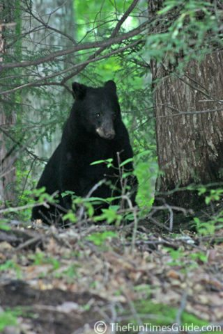 gatlinburg_tn_black_bear