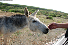 petting-donkey-from-jeep-in-aruba.jpg